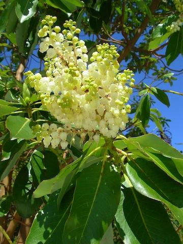 arbutus blooms
