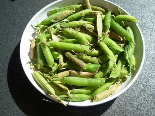 drying peas
