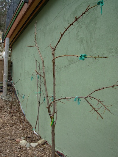 severe fruit tree pruning