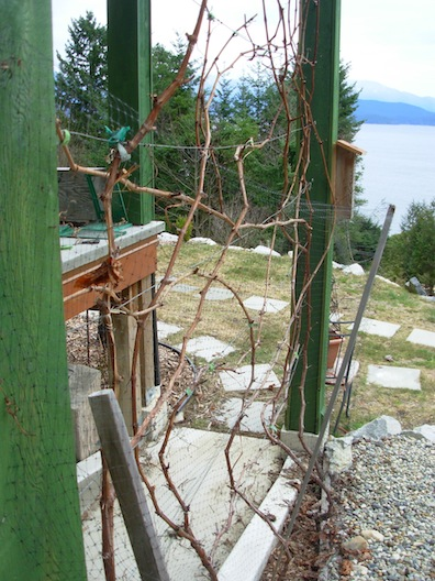 severe grape pruning