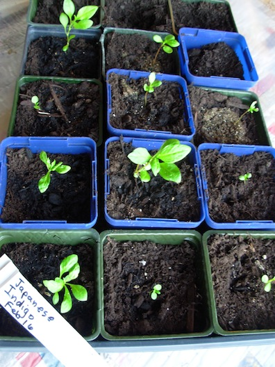 japanese indigo seedlings