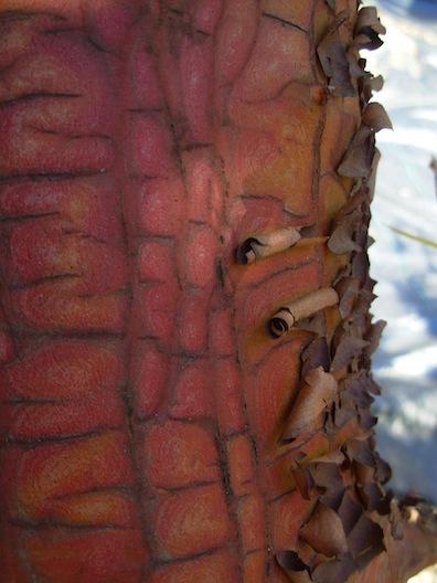 peeling arbutus bark