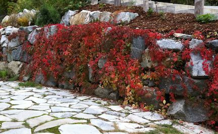 virginia creeper on rocks