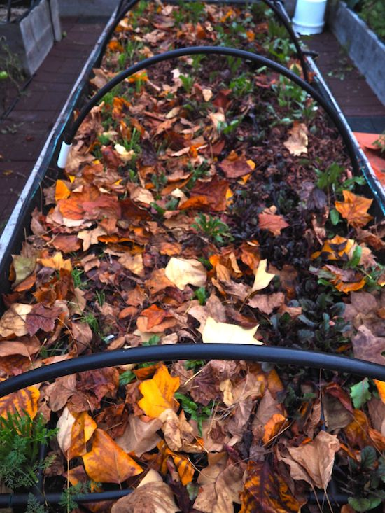leaf mulch on root vegetables